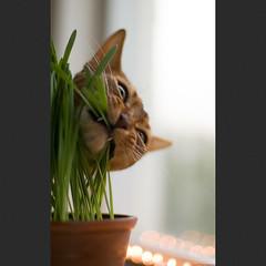 Grass is Good 8 (peter_hasselbom) Tags: cats window grass cat 50mm f14 naturallight usual pot pottedplant abyssinian ruddy eatinggrass