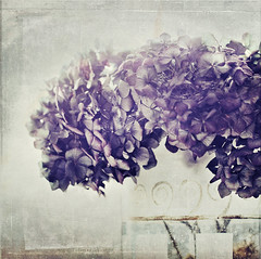 lovely melancholy (silviaON) Tags: flower g january vase hydrangea ie textured 2012 oa hortensie contemporaryartsociety memoriesbook floralessence bsactions artistictreasurechest visionqualitygroup oracope magicunicornverybest magicunicornmasterpiece alledgesactions fecontest top2012