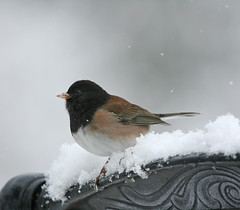 Snowy Dark-eyed Junco (janruss) Tags: snow bird junco ngc npc avian darkeyedjunco janruss janinerussell