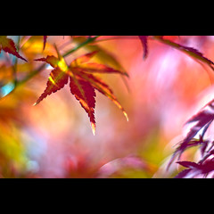 Zwergahorn (~janne) Tags: autumn plant berlin nature 50mm licht flora bokeh f14 herbst natur pflanzen olympus baum wetzlar marzahn leitz kringel janusz manuell gärtenderwelt summiluxr e520 zwergahorn ziob