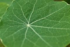 3071. Monochrome green. 23/366 (Di's Eyes) Tags: green monochrome leaf veins nasturtium odt macromondays allonecolour