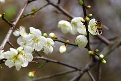 IMG_6070 (Sandor's Album) Tags: flowers flower blossom plum hsinchu taiwan       nationaltsinghuauniversity drmeimemorialgarden