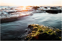 these are the places I call home (the kelp knot) Tags: sunset seaweed bay lyrics estuary lowtide 365 algae intertidal chesapeake ulva greenalgae solsticetosolstice macrophyte courtnayjaniak headandtheheart solsticetosolstice365