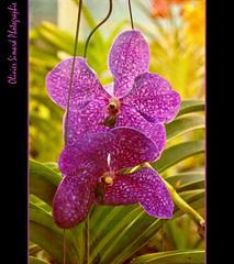 L'Amant (Olivier Simard Photographie) Tags: flower fleur garden purple violet jardin vietnam duras tude mekong flore cantho orchide sadec lamant jeanjacquesannaud oliviersimardphotographie