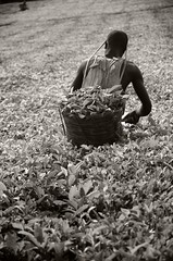 Carga - Load (kaplan77) Tags: africa uganda teaplantation frica teapicker kibaleforestnationalpark plantacindet parquenacionaldelbosquedekibale recogedordet
