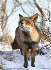 What's That Smell ... (Alex Verweij) Tags: winter snow cold canon sneeuw fox 7d duinen awd 2012 vos kou vulpesvulpes reinier vossen duinroos alexverweij mygearandme mygearandmepremium 229graden koudstenacht 4febr2012