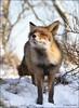 What's That Smell ... (Alex Verweij) Tags: winter snow cold canon sneeuw fox 7d duinen awd 2012 vos kou vulpesvulpes reinier vossen duinroos alexverweij mygearandme mygearandmepremium 229graden koudstenacht 4febr2012