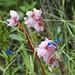 Flora dopo Ocros (prov. Ayacucho) (3)