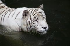 IMG_2456 (Marc Aurel) Tags: zoo singapore tiger tigre singapur whitetiger zoologischergarten singaporezoo weddingtrip hochzeitsreise bengaltiger pantheratigris zoologicalgarden königstiger pantheratigristigris royalbengaltiger pantheratigrisbengalensis weisertiger 5dmarkii eos5dmarkii indischertiger tigrebiancha