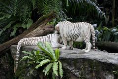 IMG_2467 (Marc Aurel) Tags: zoo singapore tiger tigre singapur whitetiger zoologischergarten singaporezoo weddingtrip hochzeitsreise bengaltiger pantheratigris zoologicalgarden königstiger pantheratigristigris royalbengaltiger pantheratigrisbengalensis weisertiger 5dmarkii eos5dmarkii indischertiger tigrebiancha