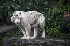 IMG_2579 (Marc Aurel) Tags: zoo singapore tiger tigre singapur whitetiger zoologischergarten singaporezoo weddingtrip hochzeitsreise bengaltiger pantheratigris zoologicalgarden königstiger pantheratigristigris royalbengaltiger pantheratigrisbengalensis weisertiger 5dmarkii eos5dmarkii indischertiger tigrebiancha