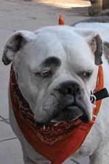 DSC_0140  Oscar (labels_30) Tags: dog banff banffnationalpark notmydog labels30