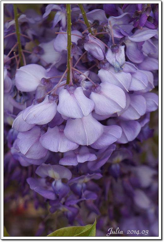 紫藤、老梅 (15)