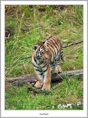 Tiger Cub on the Prowl (flatfoot471) Tags: summer nature animal zoo scotland tiger safaripark kincraig highlandsislands