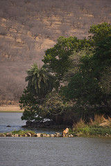 ADS_0000104323 (dickysingh) Tags: wildlife tiger tigers ranthambore indianwildlife ranthambhorenationalpark