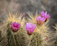 Engelmann's Hedgehog Cactus (wplynn) Tags: flowers arizona cactus flower cacti desert tucson blossom desertmuseum blossoms bloom hedgehog blooms greenvalley sonoran arizonasonorandesertmuseum echinocereus engelmannii engelmann engelmanns