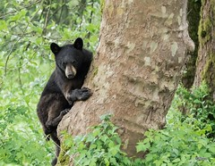 The Coast is Clear (T0nyJ0yce) Tags: bear wild baby tree cute nature animals cub wildlife climbing treehugger sow blackbear yearling canon7dmarkii tamron150600
