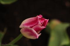 Princesse du Printemps ... ( P-A) Tags: nature festival fleurs soleil eau photos beaut extrieur parc printemps verdure herbe saison tulipes potager chaleur jardinage visiteurs platebandes airfrais nikonflickraward simpa