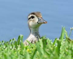 Peek A Boo (dina j) Tags: duck florida wildlife duckling lakeland floridawildlife babyduck floridabirds wooddduck woodduckbaby