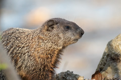 Grounded (ardvorak79) Tags: woodchuck groundhog whistlepig marmotamonax mousebear