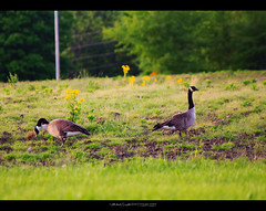 Just Goosin' Around (StormLoverSwin93 | Into the Storm) Tags: nature birds canon outdoors photography geese illinois canadiangeese birdphotography migratorybirds 60d canon60d ruralcentralillinois canoneos60d