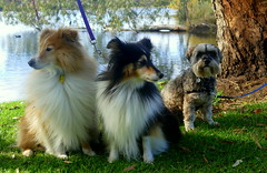 The Watchful Trio! (The Pocket Rocket) Tags: australia victoria jed biddy oceangrove lochie bluewaterslake