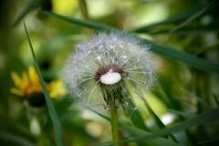 IMG_7926 (kween_beek) Tags: nature wisconsin outdoors weed dandelion wish wildflower wi