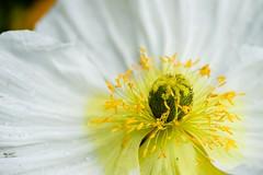 Anemone, 2 (Patrick.Raymond (2M views)) Tags: macro fleur nikon anemone expressyourself nikonflickraward