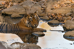 ADS_0000103274 (dickysingh) Tags: wildlife tiger tigers ranthambore indianwildlife ranthambhorenationalpark