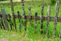 Fort Ross (ivlys) Tags: california usa nature grass fence highway1 gras lichen zaun californiapoppies fortross flechten ivlys