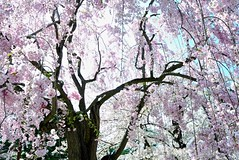 Rain Cherry tree (tez-guitar) Tags: leica flower tree castle cherry spring blossoms petal bloom cherryblossom sakura leicax1