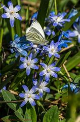 Chionodoxa forbesii (Timo Halonen) Tags: flower butterfly nikon zoom nikkor 70300mm scilla dx chionodoxa asparagaceae forbesii d5200 forbesgloryofthesnow scilloideae kevtkirjothti