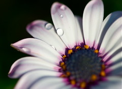 DAISY WITH WATER (Sven Dost) Tags: pink blue light summer sun white flower macro water beautiful yellow germany droplets spring nikon rosa sigma daisy makro f28 105mm sirui d5100
