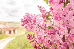 Tiempo de lilas (marysaesteban) Tags: espaa flower primavera fleur spring spain flor may valladolid mai mayo lilo espagne lilas vulgaris syringa oleaceae sanmigueldelarroyo