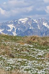 crochi e Carega (Tabboz) Tags: panorama primavera erba montagna strade cima prati vetta pascoli prealpi fioriture