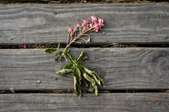 Green Lake Abstract (bombeeney) Tags: seattle wood flowers abstract flower death dock cracks dying foundobject greenlakepark a7s