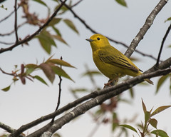 Yellow Warbler (J.B. Churchill) Tags: birds broadfordlake garrett maryland places taxonomy warblers yewa yellowwarbler oakland unitedstates us