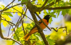 7K8A8781 (rpealit) Tags: bird nature scenery wildlife baltimore area oriole hatchery pequest