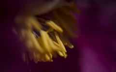 Peony 3 (peter_hasselbom) Tags: flower yellow closeup petals magenta peony stamens petal 105mm paeoniamasculaarietina