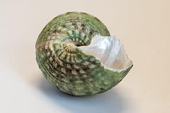 0SeaShells (1 of 1)-10 (HemboCondo) Tags: shells seashells shell snail scallop urchin