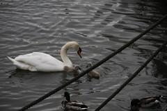 _MG_6881 (Mitya Adamsky) Tags: boat brentford swan cygnets
