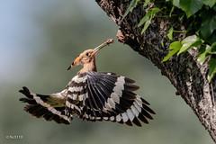 Huppe fasciée (sfrancois73) Tags: oiseau faune huppefasciée
