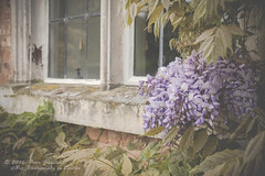 Wisteria Around A Windowsill At Coughton Court (Peter Greenway) Tags: window purple nt decay nationaltrust windowsill purpleflower wisteria purplewisteria coughtoncourt gunpowderplot
