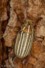 Ten-lined June Beetle (Polyphylla decemlineata) (aliceinwl1) Tags: apachecanyon arthropod arthropoda ca california coleoptera insect insecta linedjunebeetle lospadresnationalforest melolonthinae melolonthini pinemountain2016 polyphaga polyphylla polyphylladecemlineata scarabbeetle scarabaeidae scarabaeoidea tenlinedjunebeetle venturacounty beetle decemlineata locpublic viseveryone