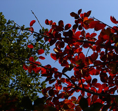 RGB (Jason A. Samfield) Tags: blue autumn trees red sky fallleaves color tree green fall leaves season fire leaf branch skies dof seasons branches autumnleaves depthoffield twig rgb twigs treebranches depth autumnal clearsky fiery treebranch autumnalleaves crapemyrtle clearskies firered colorchanging fieryred