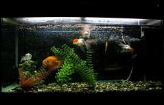 111 (Maryam J S) Tags: fish aquarium aquariumfish