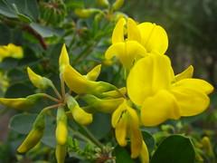 pétalos amarillos (juanpablo.santosrodriguez) Tags: wallpaper flower macro verde green yellow flor petal amarillo amusementpark fondodeescritorio parquedeatracciones pétalo