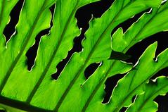 Translucent Green (Bill Gracey) Tags: green colorful niceshot patterns shapes translucent backlit sandiegozoo backlighting safaripark shadowshapes veing sandiegozoossafaripark