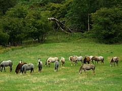 Wild Welsh Horses (Églantine) Tags: holiday wales jw cheval welsh herd wildhorses chevaux hfholidays walkingholiday