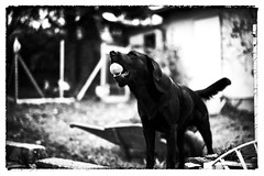 Rossi #2106 (Miskulin) Tags: leica ball herbst hund garten rossi m9 summilux50asph leicam9 m9p leicam9p